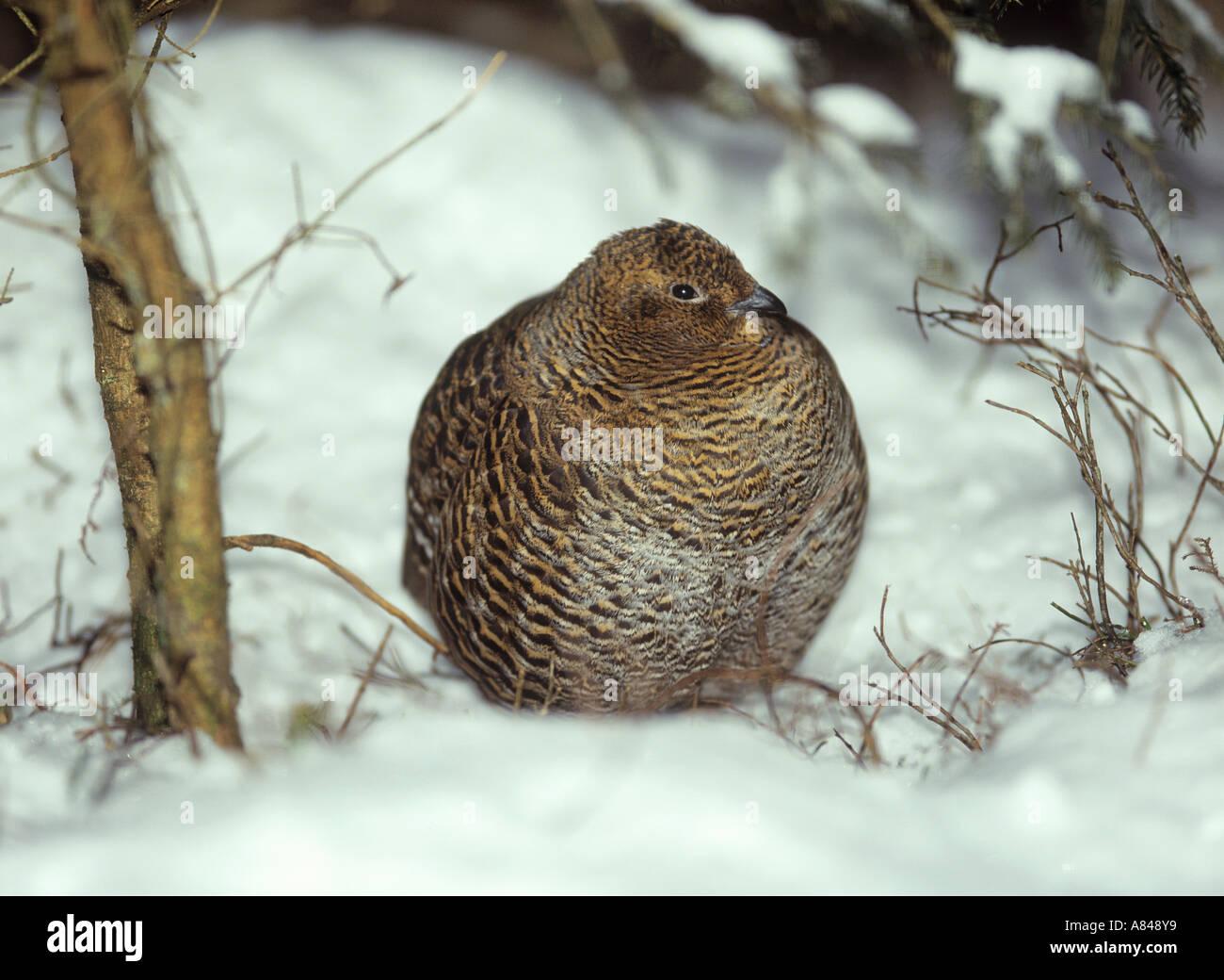black grouse in snow / Lyrurus tetrix / Tetrao tetrix - Stock Image