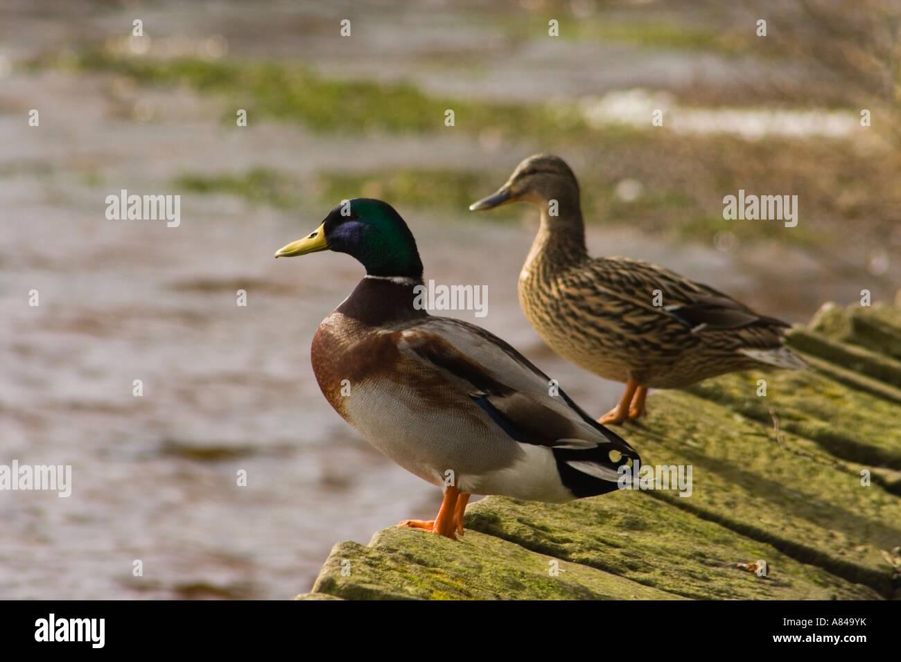 Male And Female Mallard Ducks