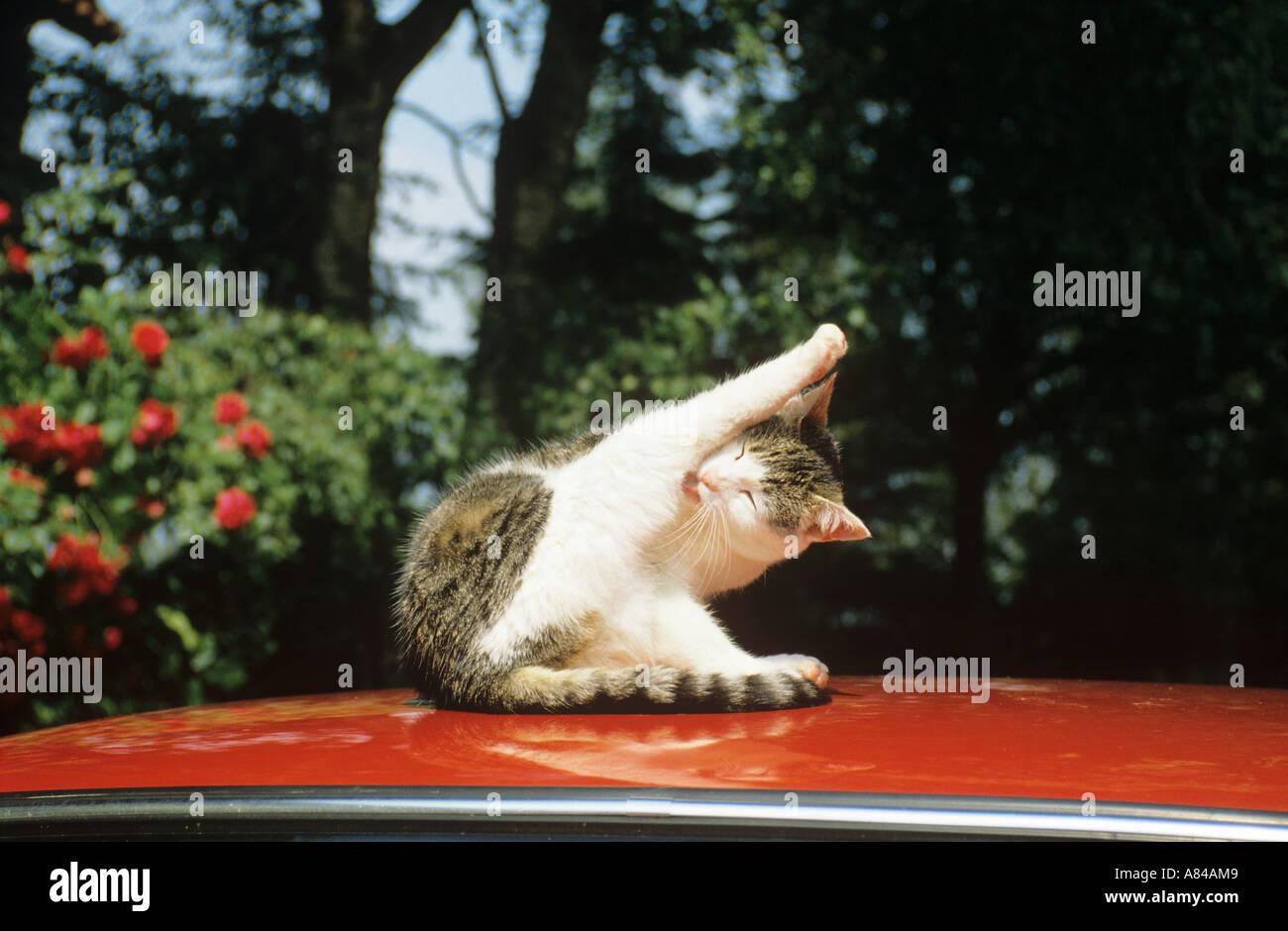 domestic cat on roof - preening itself - Stock Image