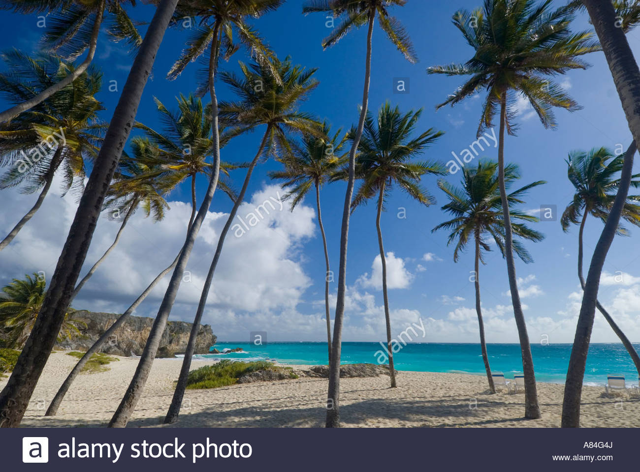 Palm trees at Bottom Bay, St Philip parish, South East Barbados, Eastern Caribbean - Stock Image