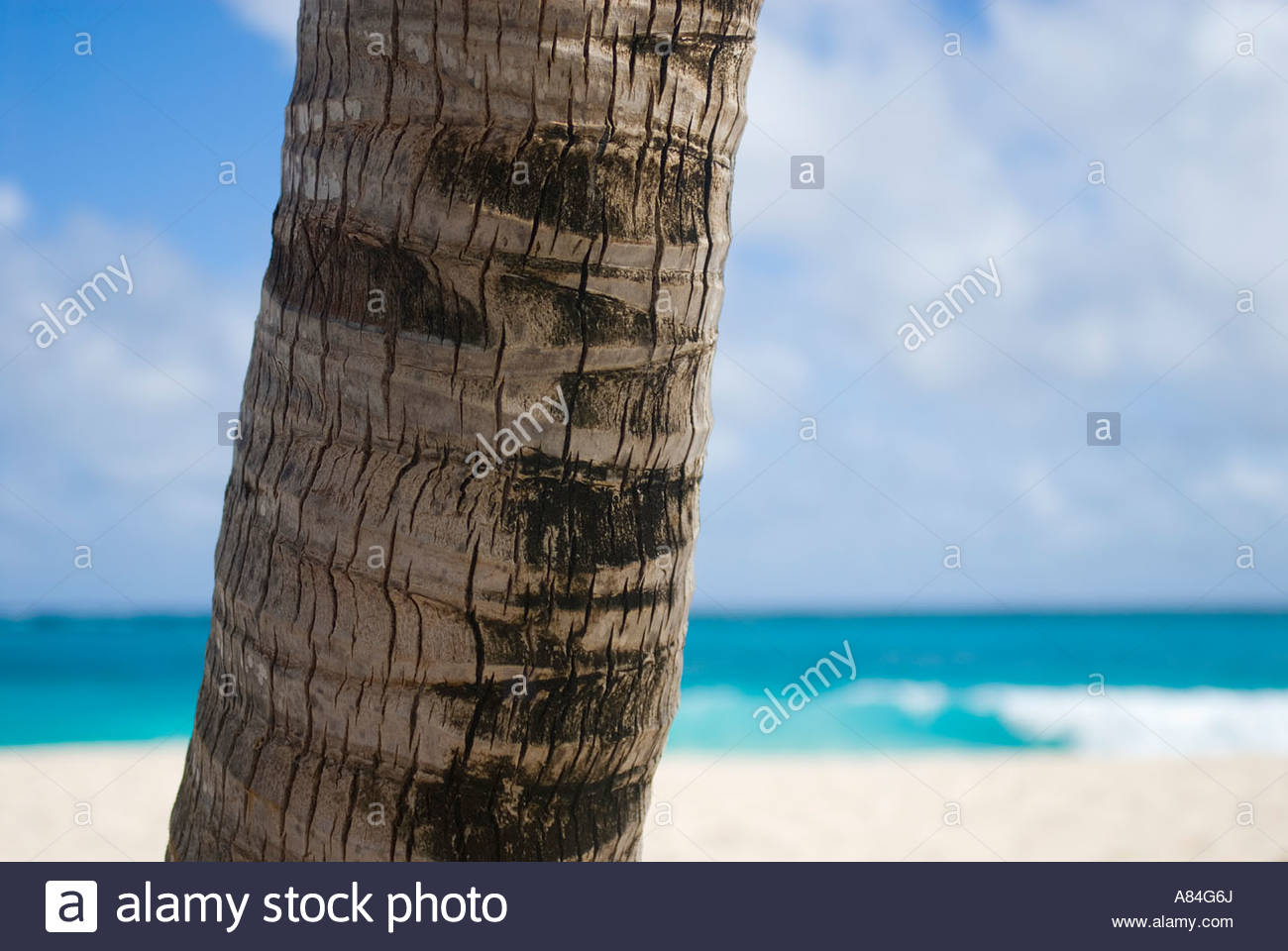 Close up of Palm tree trunk, Foul Bay beach, Barbados, Eastern Caribbean - Stock Image
