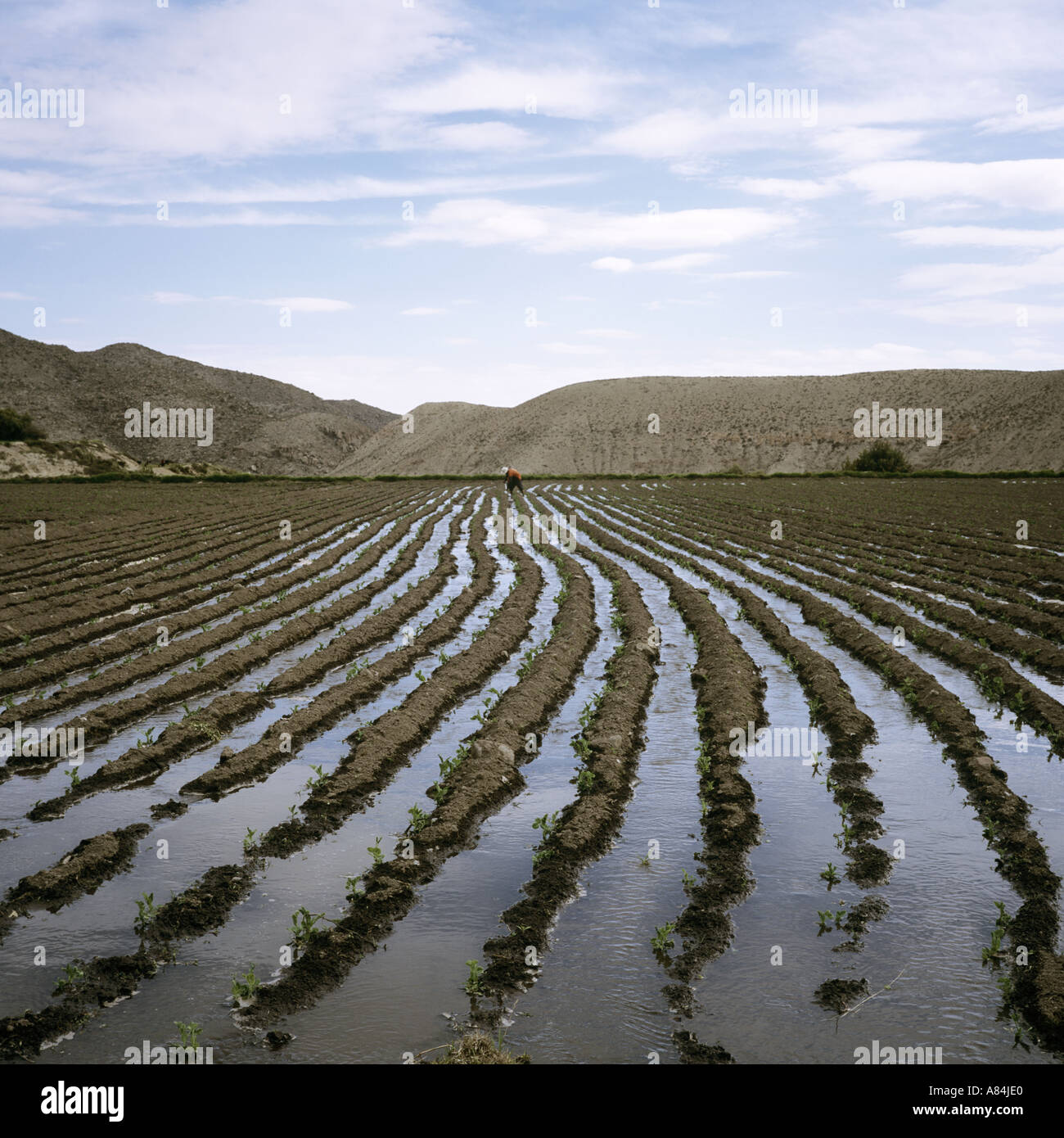 Irrigated fields being planted - Stock Image