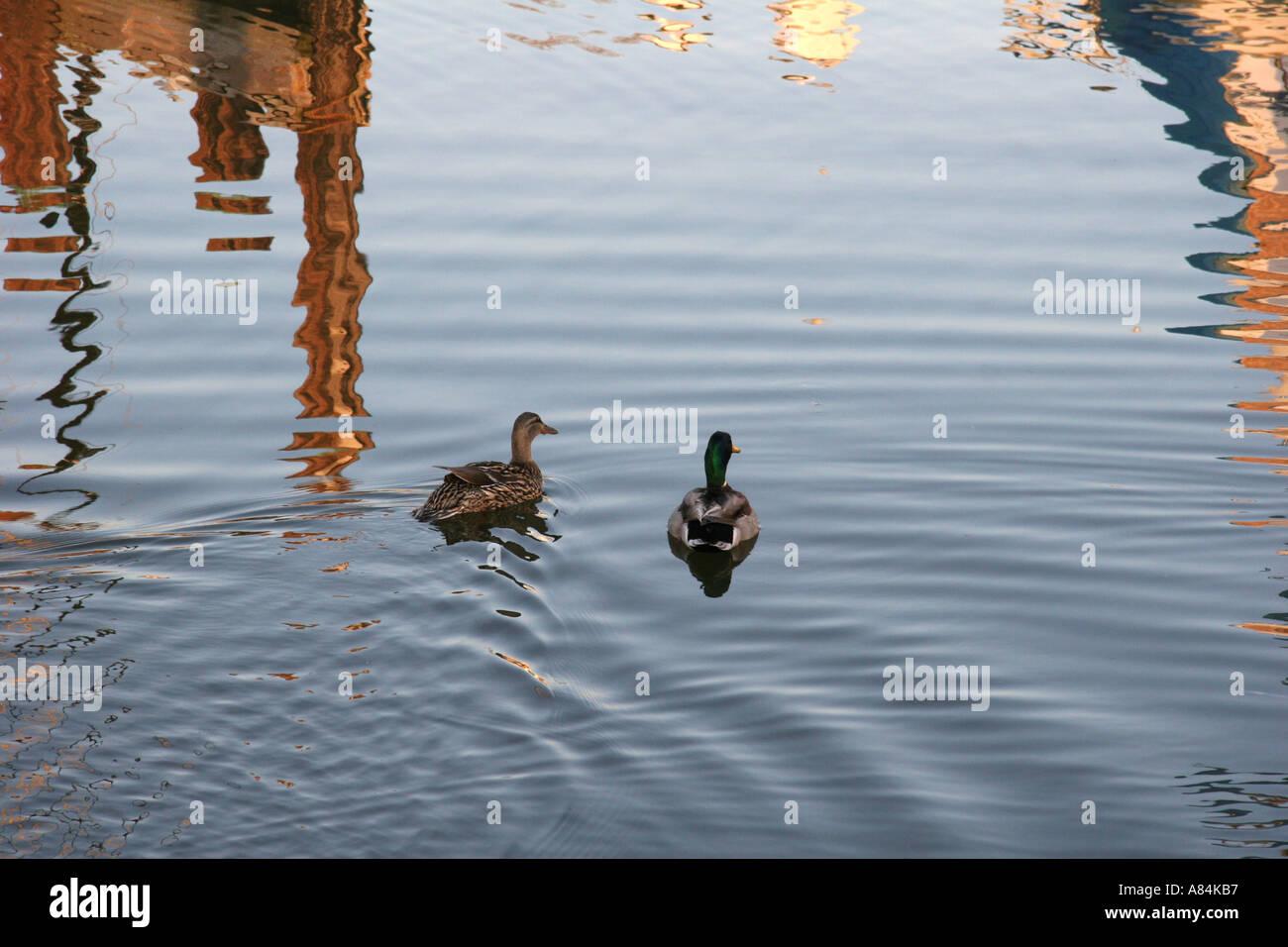 Mallard Ducks on rippling water - Stock Image