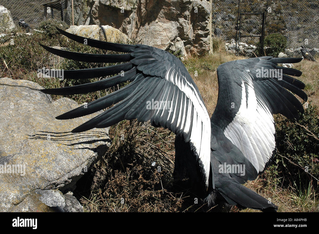 At a breeding station in the Venezuelan Andes a condor spreads his wings in a display perhaps intended to impress a young female - Stock Image