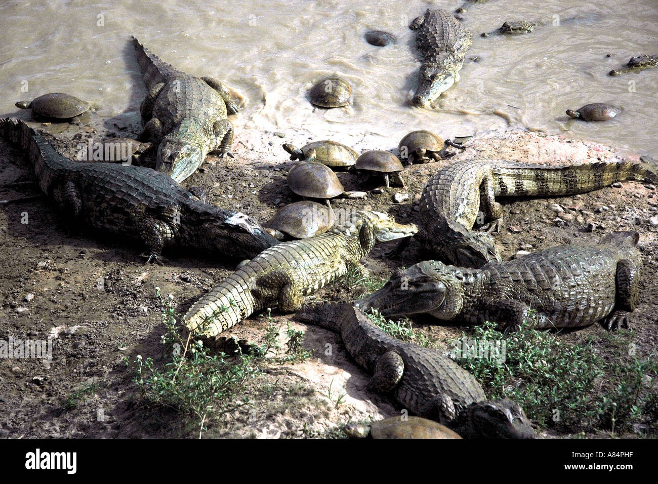 Caimans and unafraid turtles are populous in the wildlife rich ranchlands of Venezuela's plains, the llanos - Stock Image