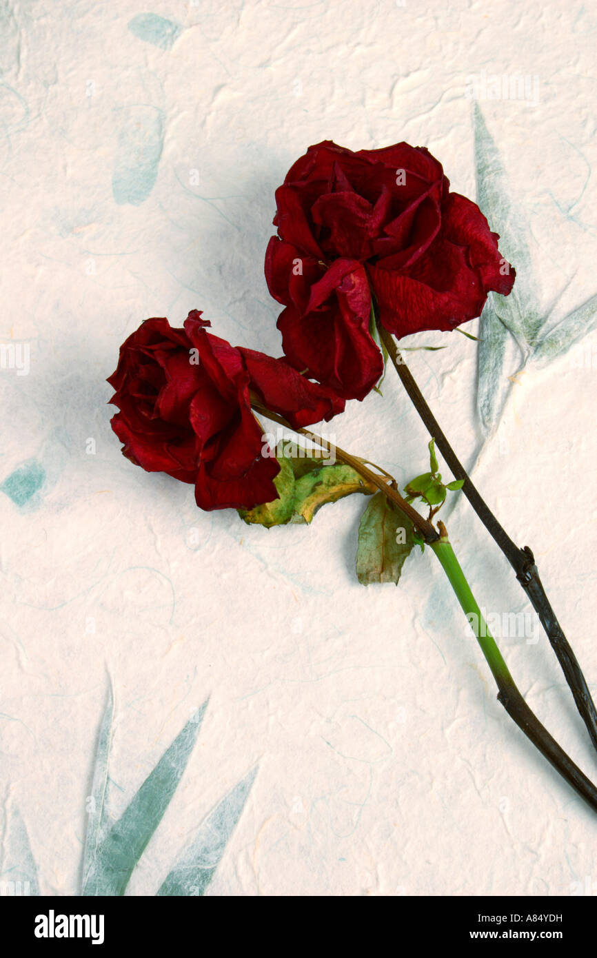 Dead Red Roses. - Stock Image