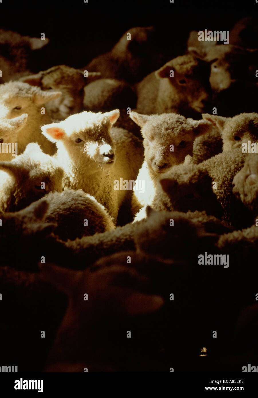 Close-up of flock of lambs in pen at market. New Zealand. - Stock Image