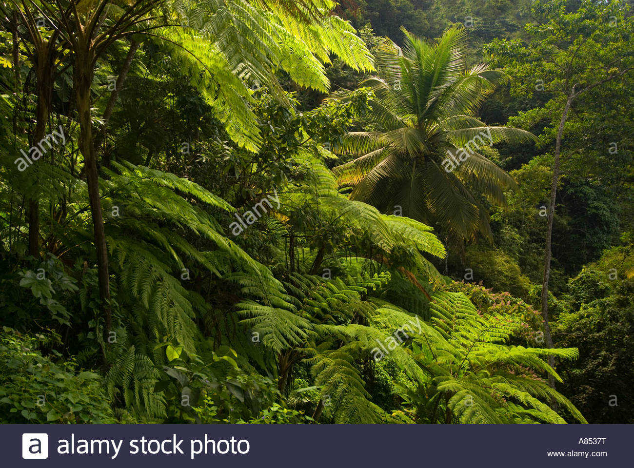 Palm trees in the rainforest, St Lucia, Windward Islands, Caribbean - Stock Image