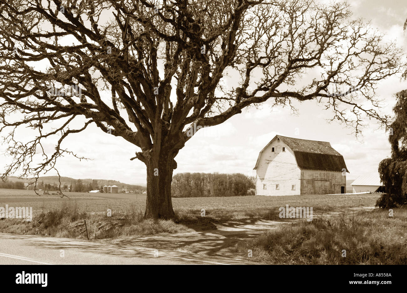 Sepia tone photograph of old barn and oak tree - Stock Image