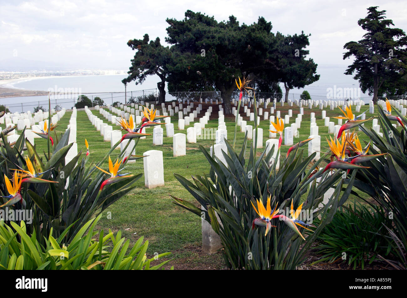 The bird of paradise flower with rows of tombstones in Fort Rosencrans National Cemetery near San Diego, California, - Stock Image