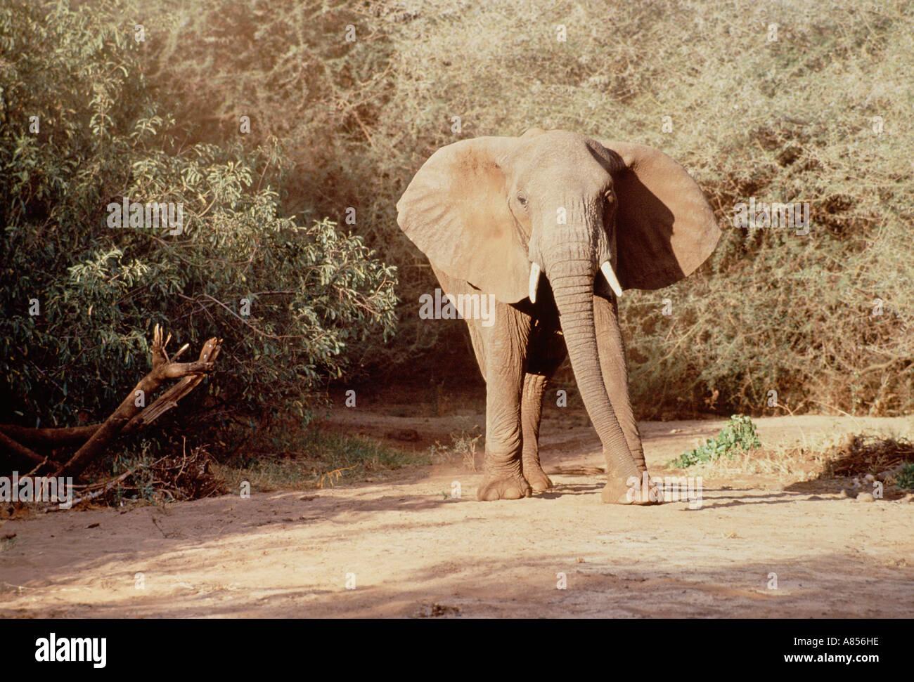 Tanzania. Lake Manyara National Park. African Elephant. - Stock Image