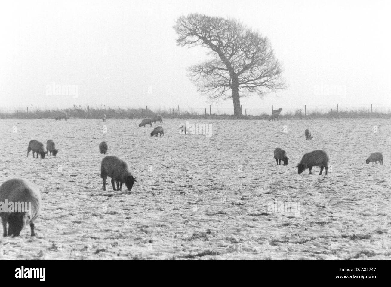 Sheep in field Cheshire - Stock Image