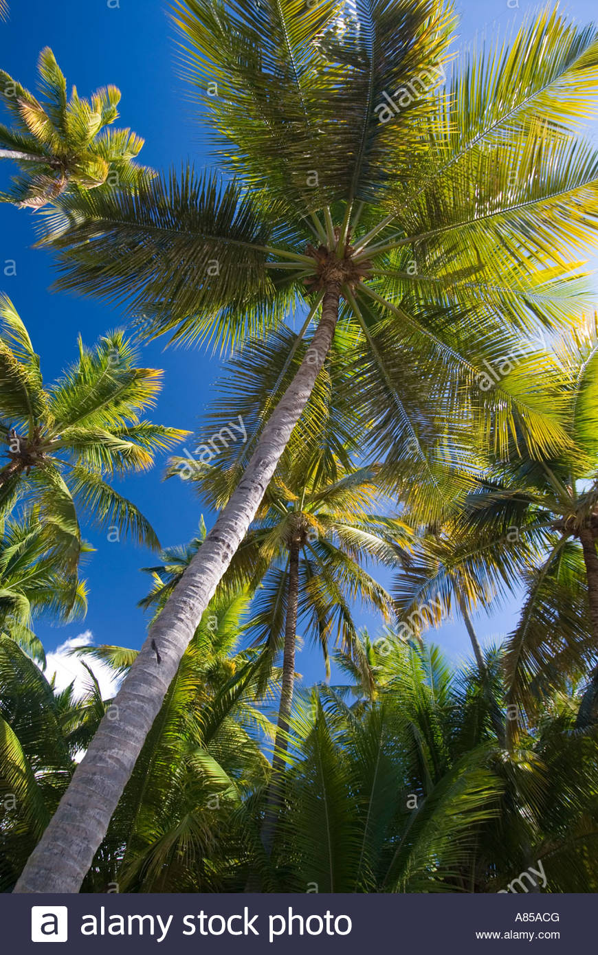 Looking up at palm trees, St Lucia, Windward Islands, Caribbean - Stock Image