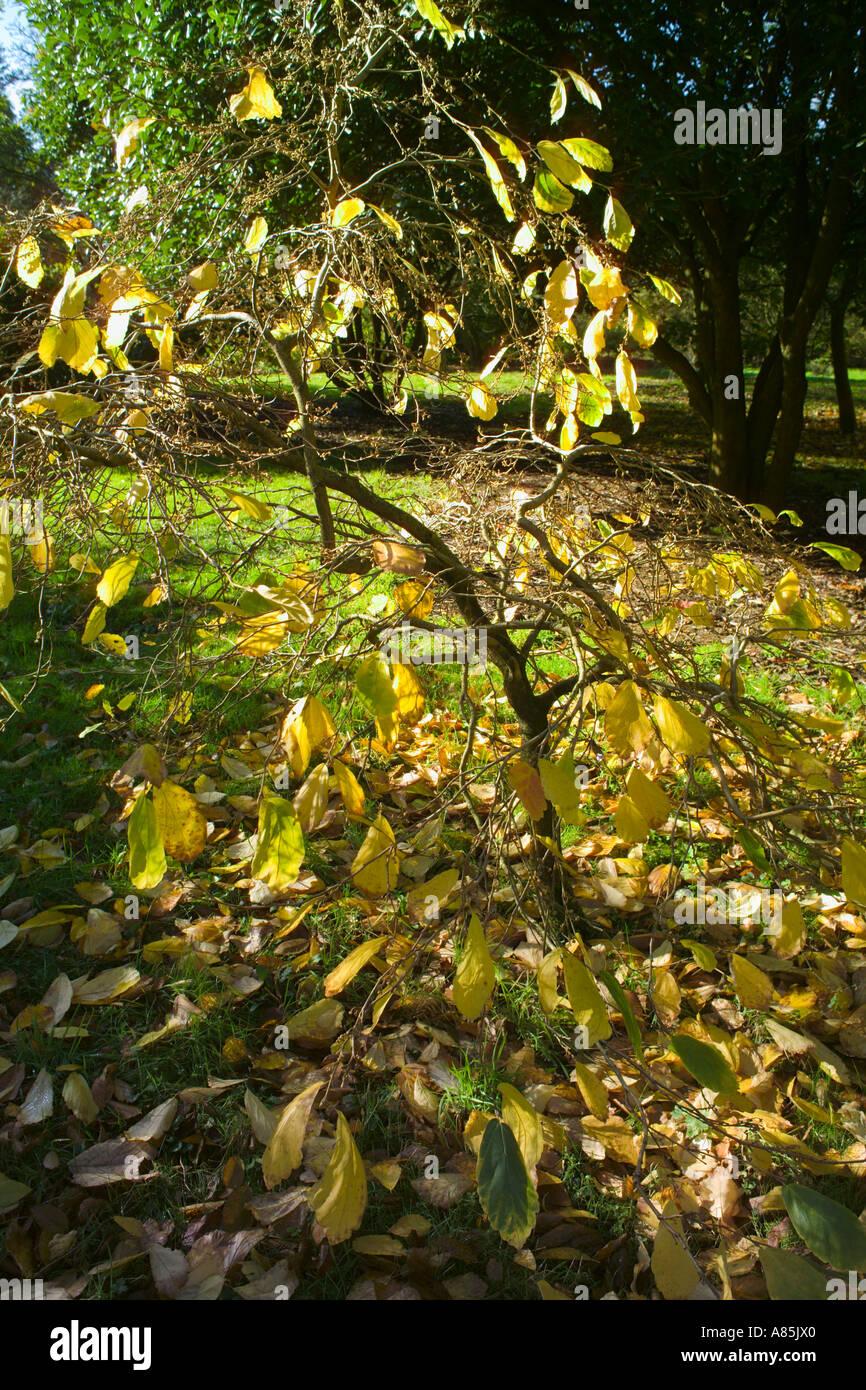 New Years Foliage >> Hamamelis Vernalis New Year Gold Autumn Foliage Stock Photo 6854431