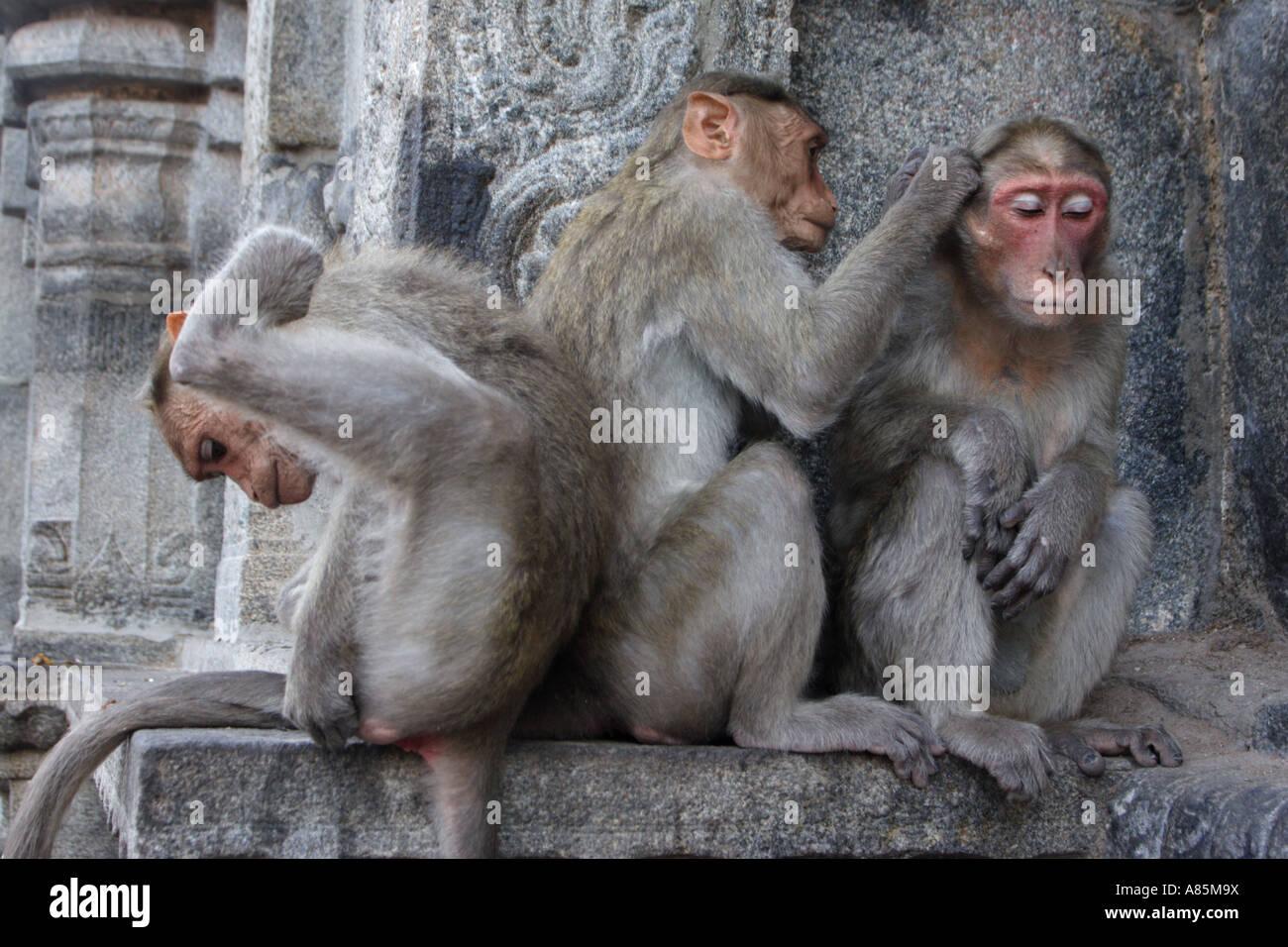 Three bonnet macaques preening within the Arunachalaeshvara Temple complex in Tiruvannamalai, Tamil Nadu, India. - Stock Image