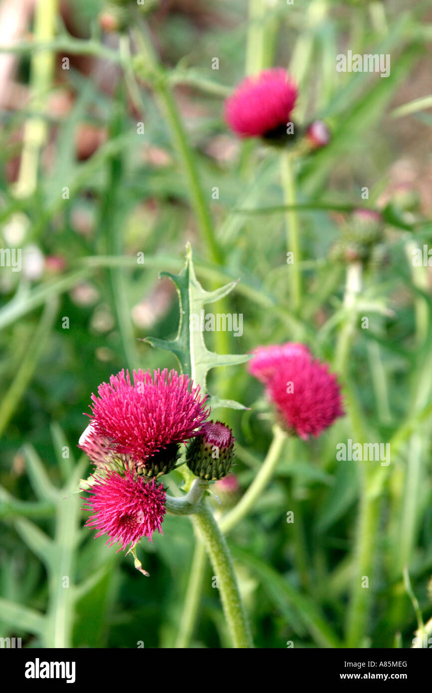 Cirsium rivulare atropurpureum has a very long flowering season shown here as it starts in late April a great bumble - Stock Image