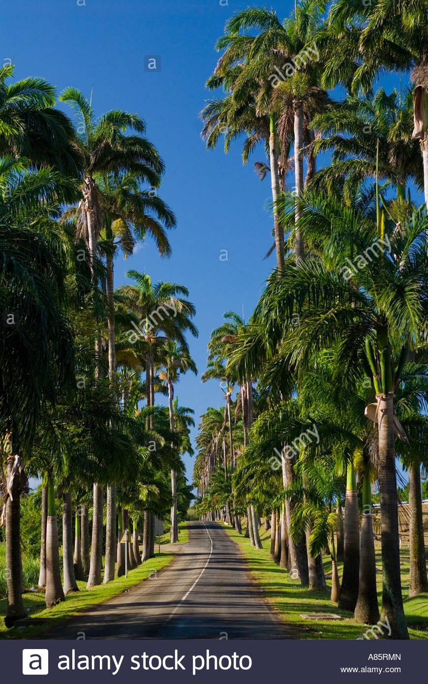 Royal Palms lining the road, Allée Dumanoir, Basse Terre, Guadeloupe, Leeward Islands, Caribbean - Stock Image