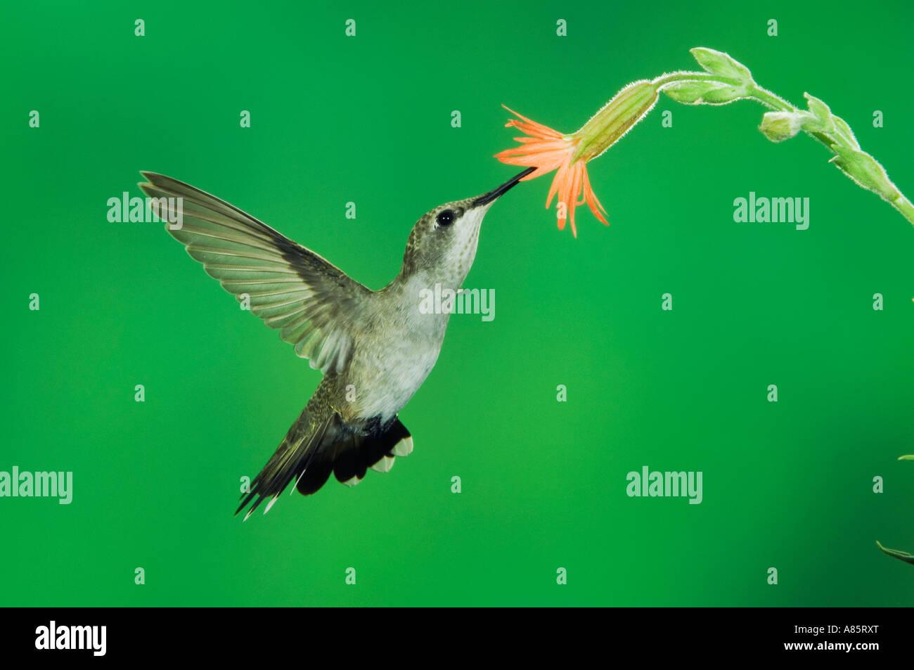 Black-chinned Hummingbird Archilochus alexandri female in flight feeding on Scarlet Gilia Gilia aggregata Madera - Stock Image