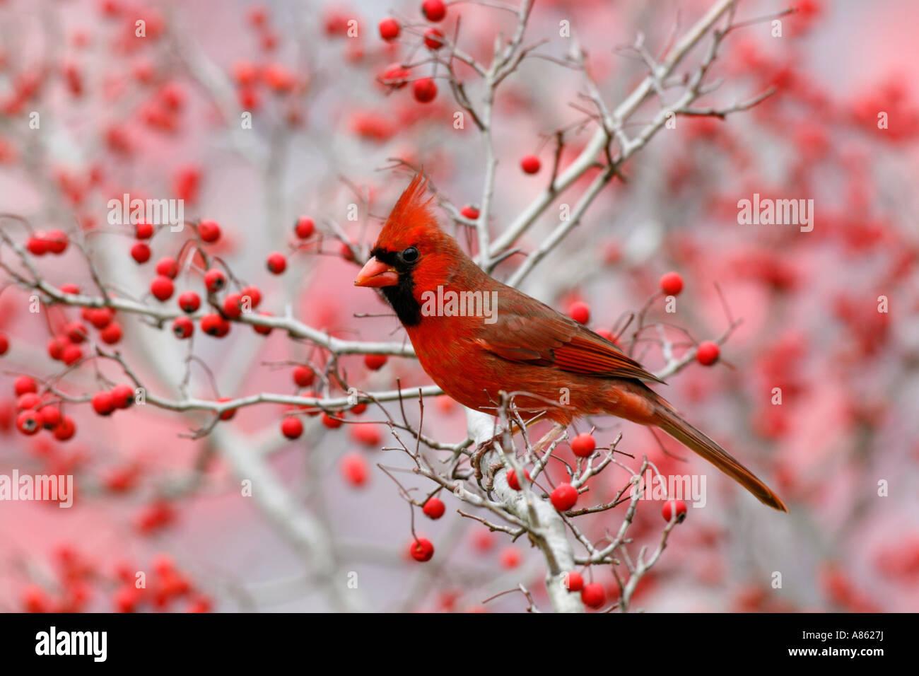 Male Northern Cardinal in Hawthorn Tree - Stock Image