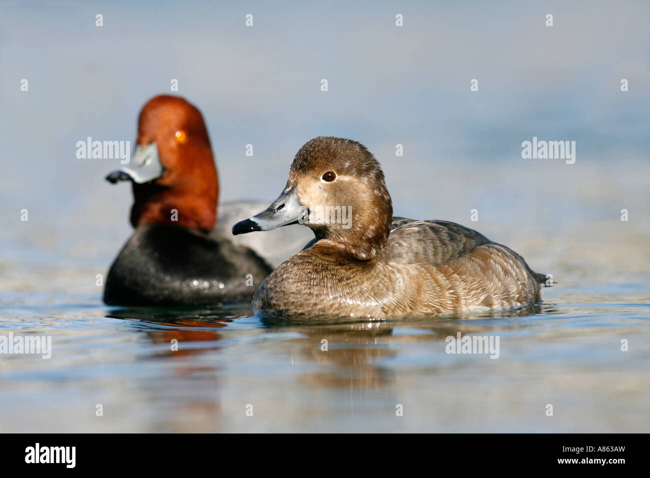 Male and Female Redheads - Stock Image