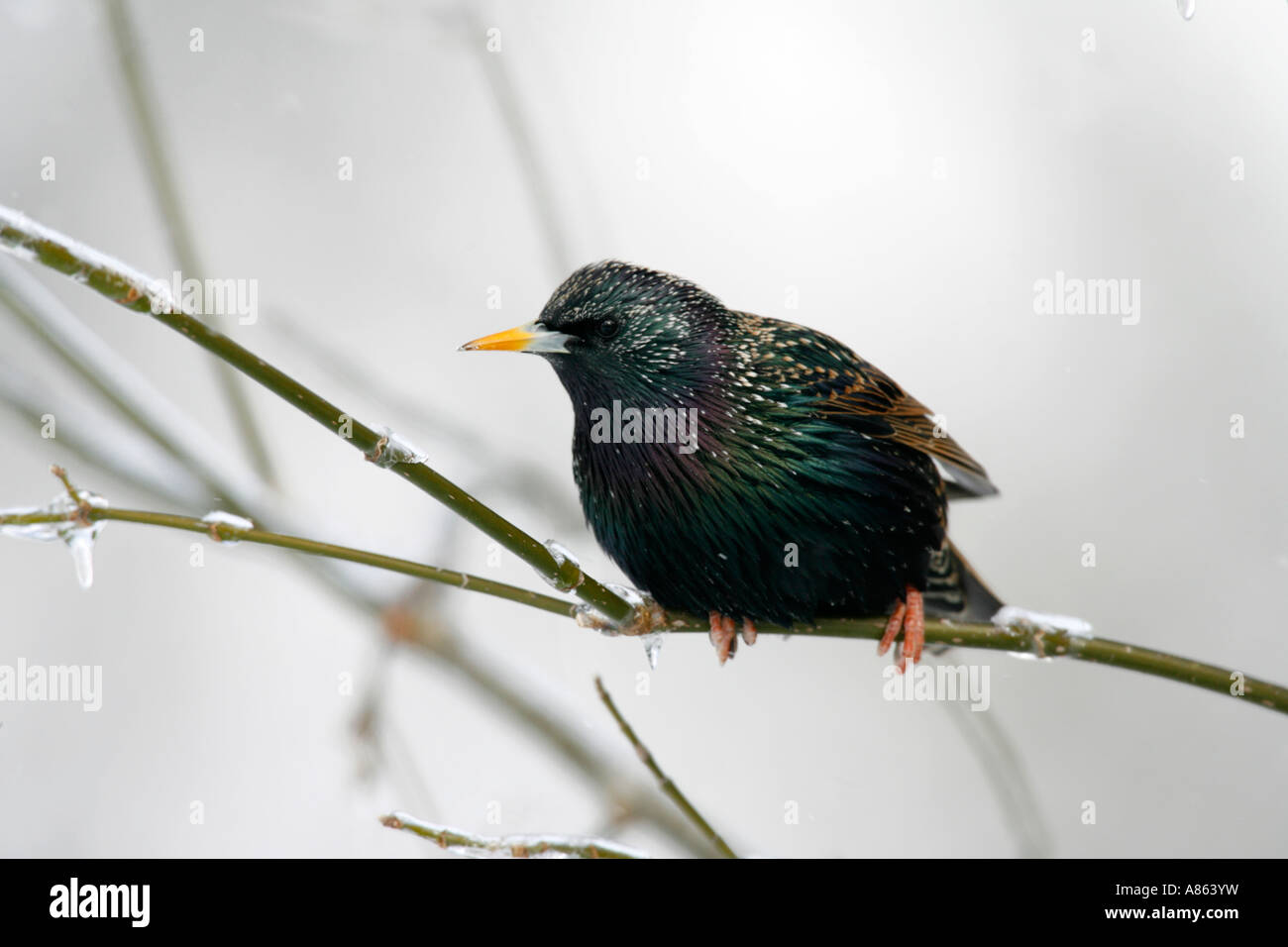 European Starling on Icy Branch - Stock Image