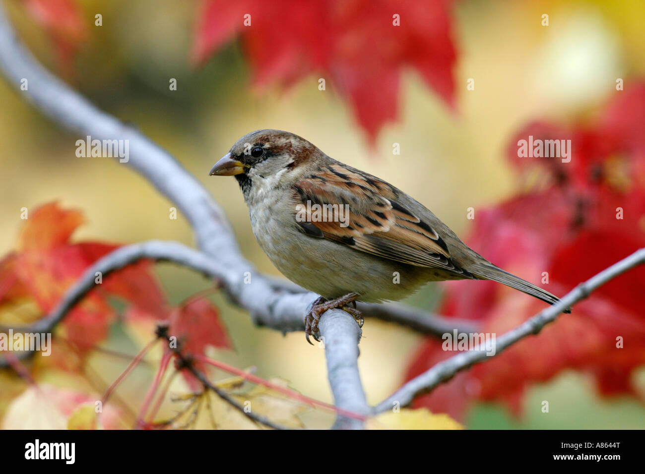 House Sparrow in Fall Maple Tree - Stock Image