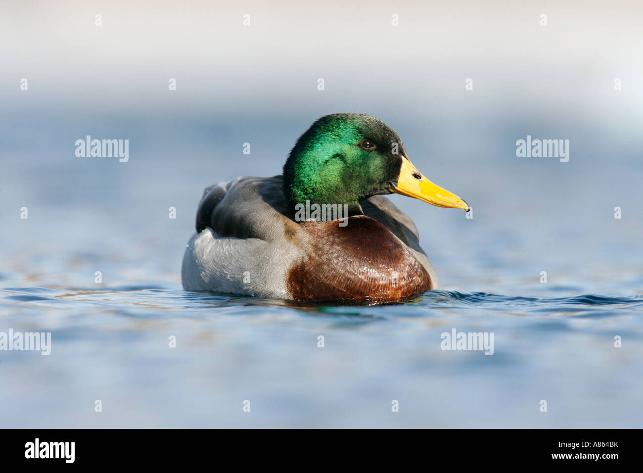 Mallard - Stock Image