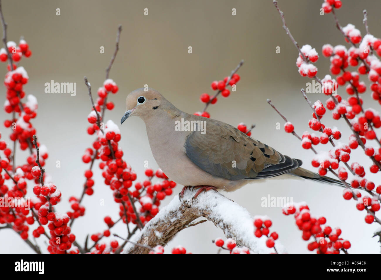 Mourning Dove among Snowy Winterberry - Stock Image
