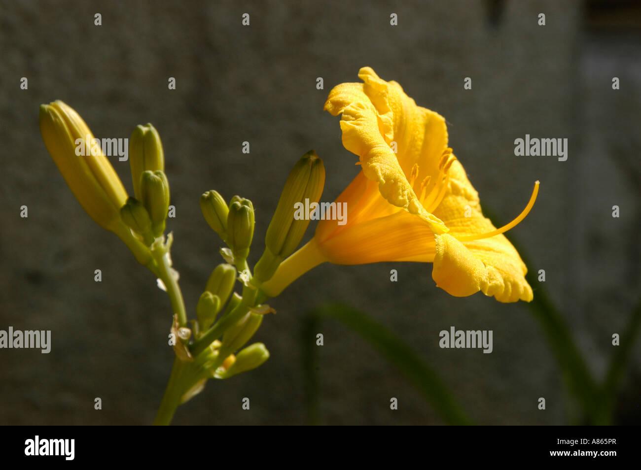 Yellow Bell Shaped Flower Stock Photo 12000286 Alamy