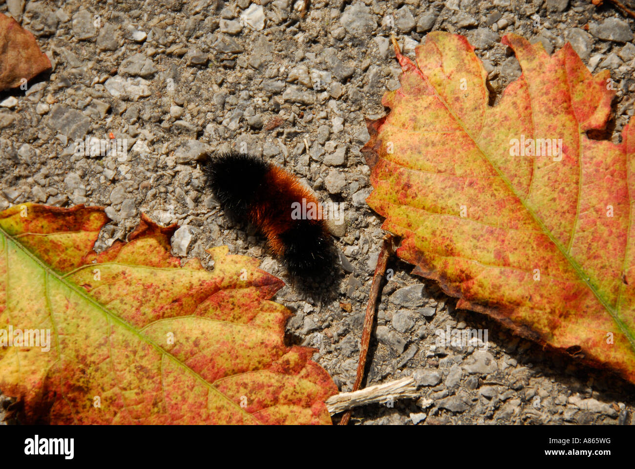 Autumn colors and wooly bear caterpillar - Stock Image