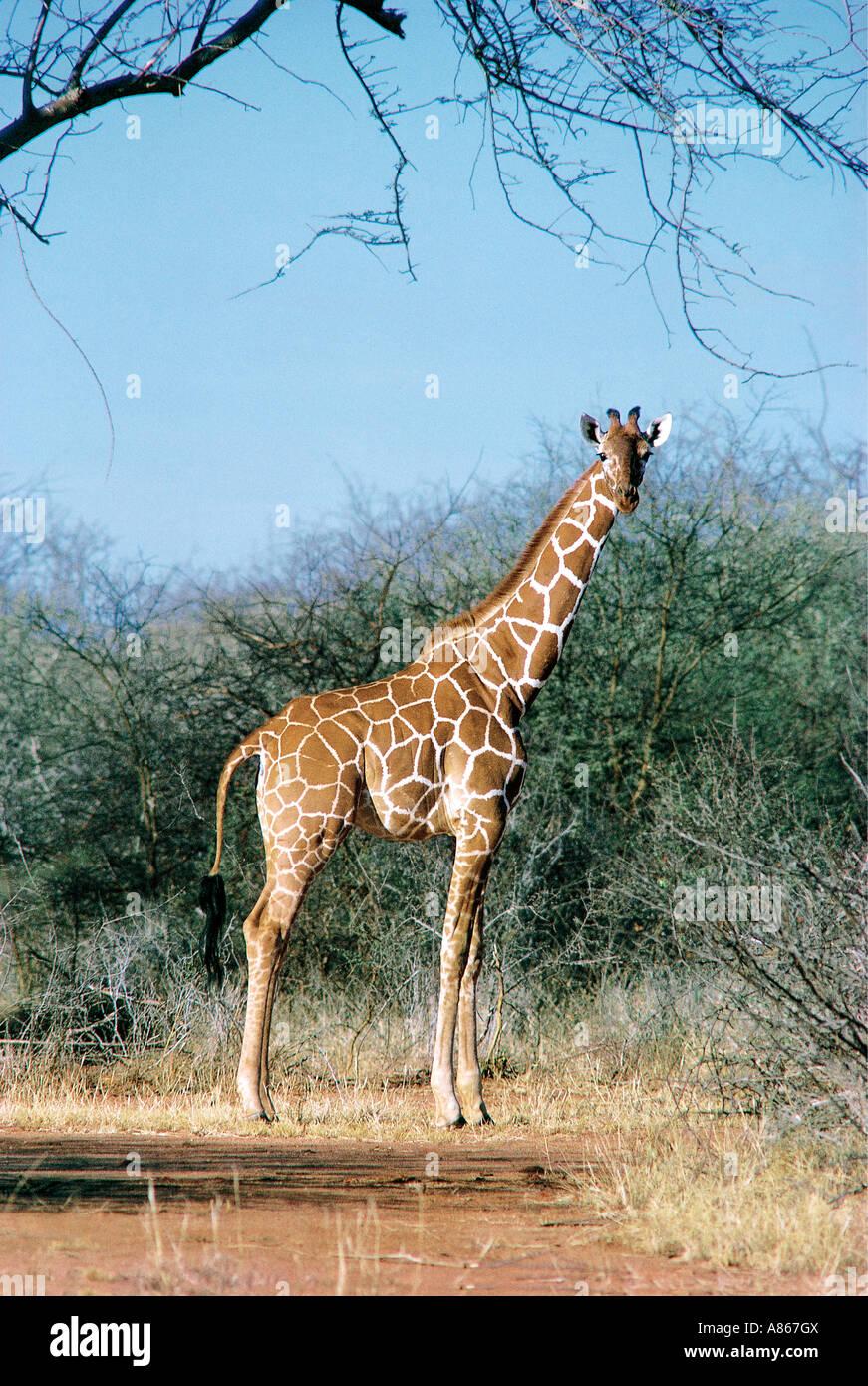 Reticulated Giraffe Samburu National Reserve Kenya - Stock Image