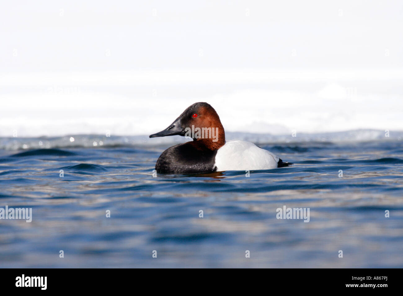 Canvasback on Winter Lake with Snow - Stock Image