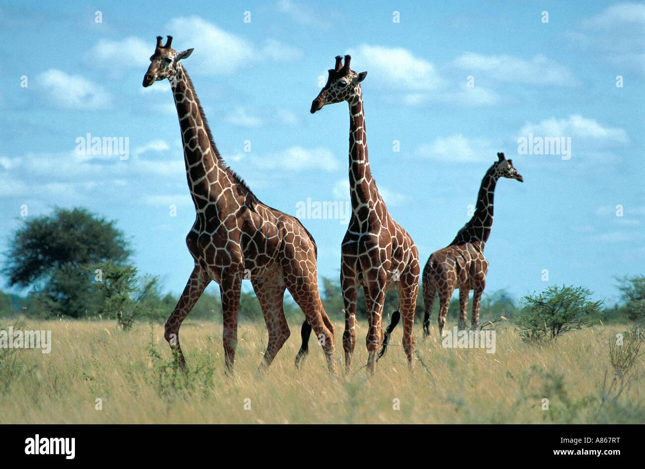 Three Reticulated Giraffe Meru National Park Kenya - Stock Image