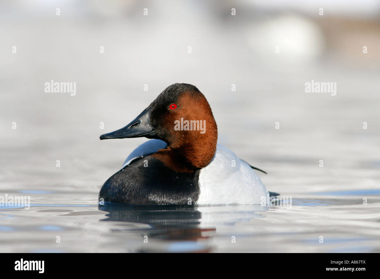 Canvasback on Winter Lake - Stock Image