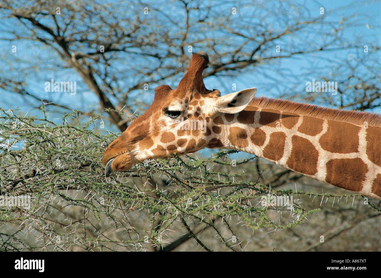 Reticulated Giraffe browsing Samburu National Reserve Kenya - Stock Image