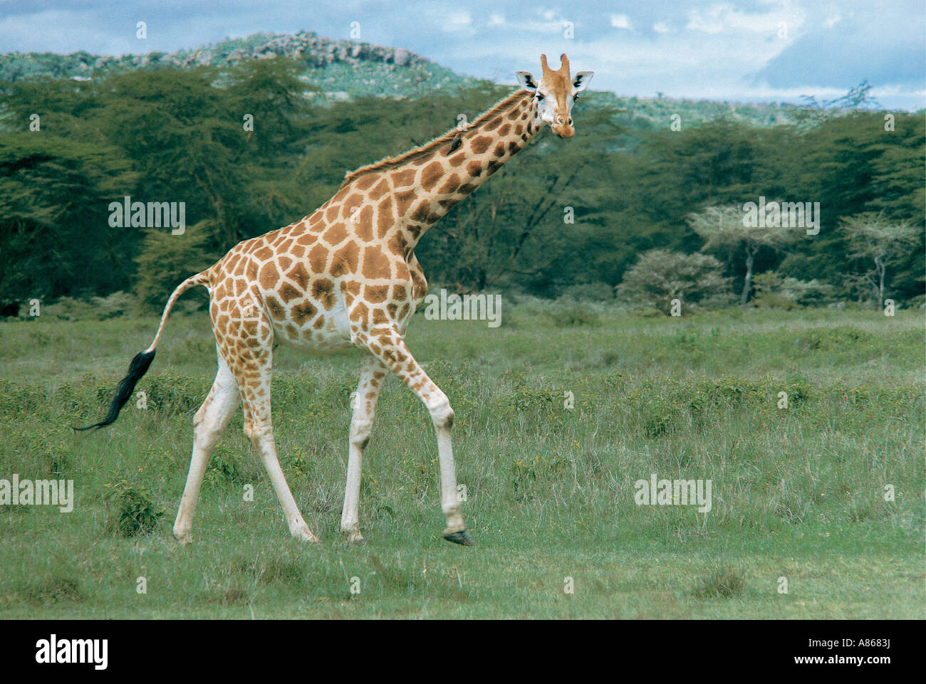 Rothschild s Giraffe Lake Nakuru National Park Kenya Stock Photo