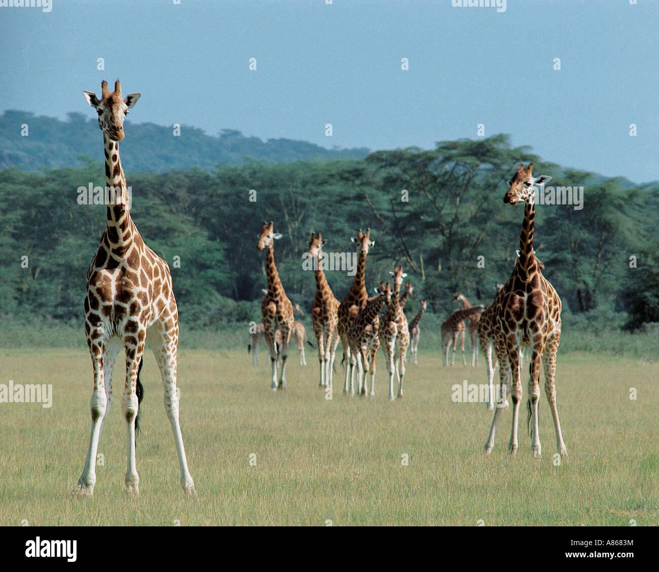 Herd of Rothschild s Giraffe Lake Nakuru National Park Kenya - Stock Image