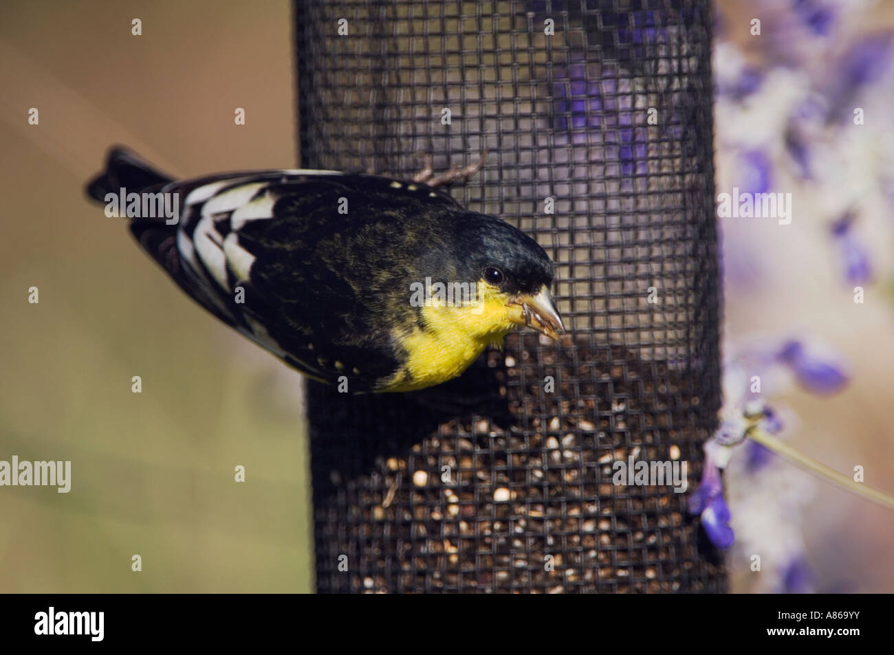 at picture feeder an american and thistle the stock goldfinch photo feeders