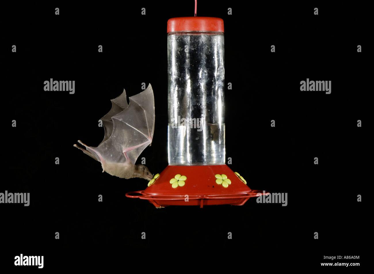 Lesser Long-nosed Bat Leptonycteris curasoae adult in flight at night feeding on Hummingbird feeder Tucson Arizona Stock Photo