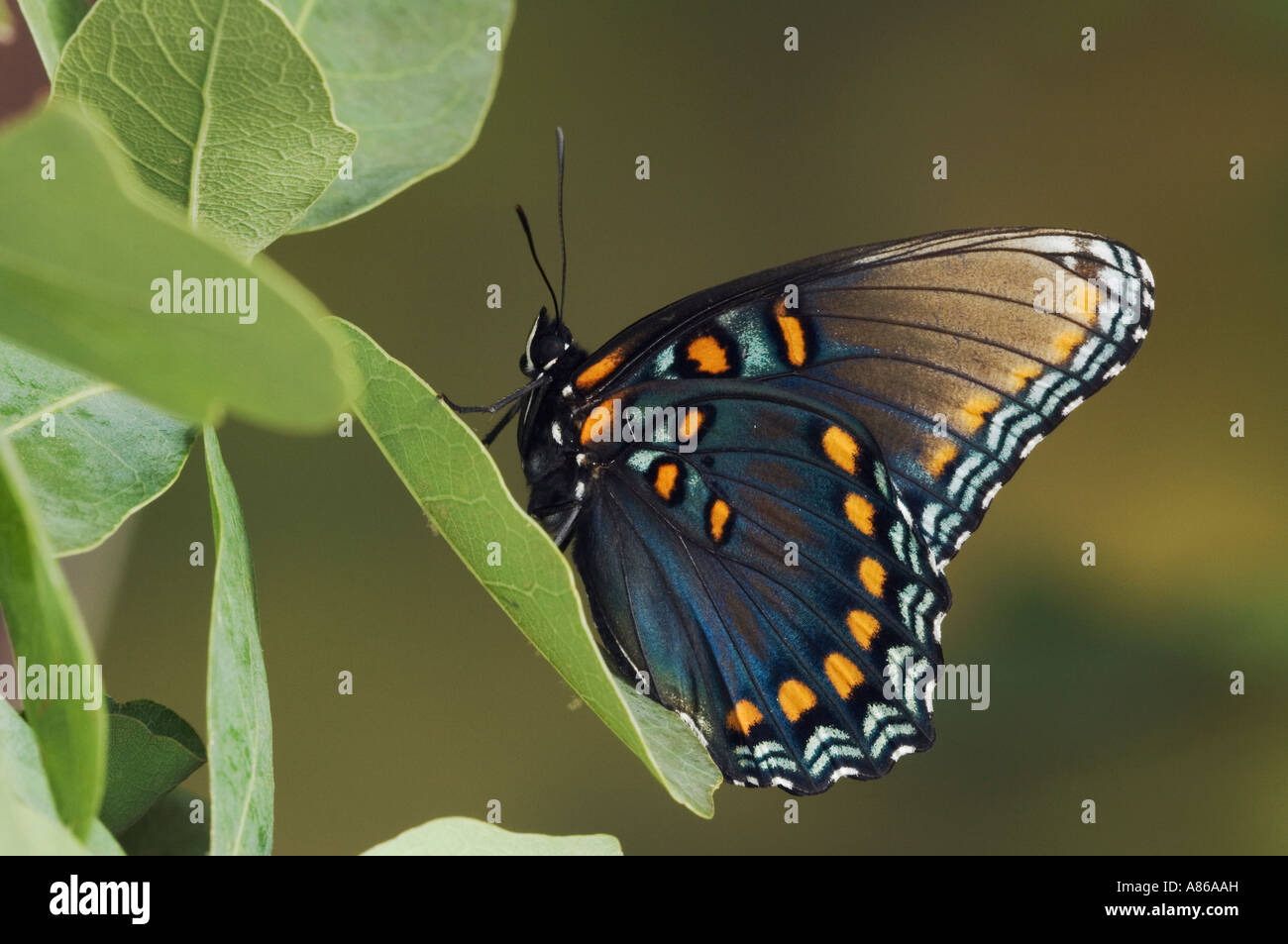 Red-Spotted Purple Limenitis arthemis astyanax adult on Lacey Oak Quercus laceyi  Hill Country Texas - Stock Image