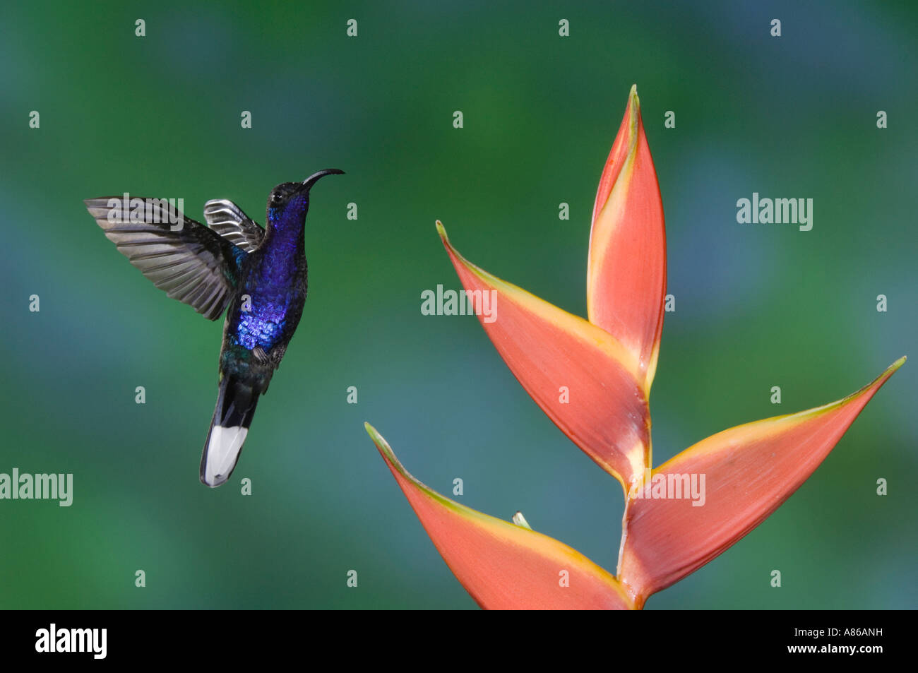 Violet Sabrewing Hummingbird Campylopterus hemileucurus male in flight feeding on Heliconia flower Central Valley Costa Rica Stock Photo