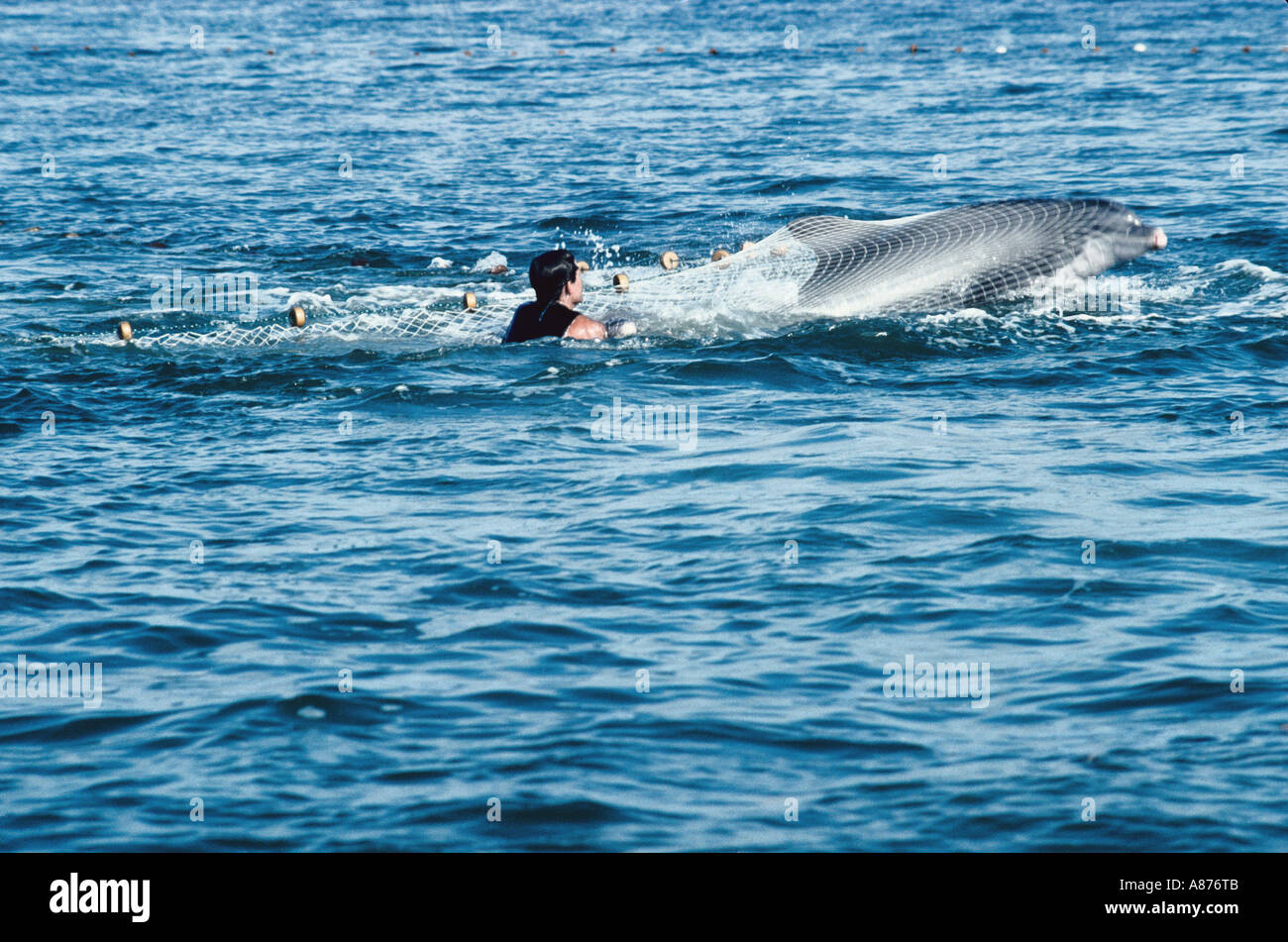 USA Florida Hunting of dolphins in the Gulf of Mexico - Stock Image