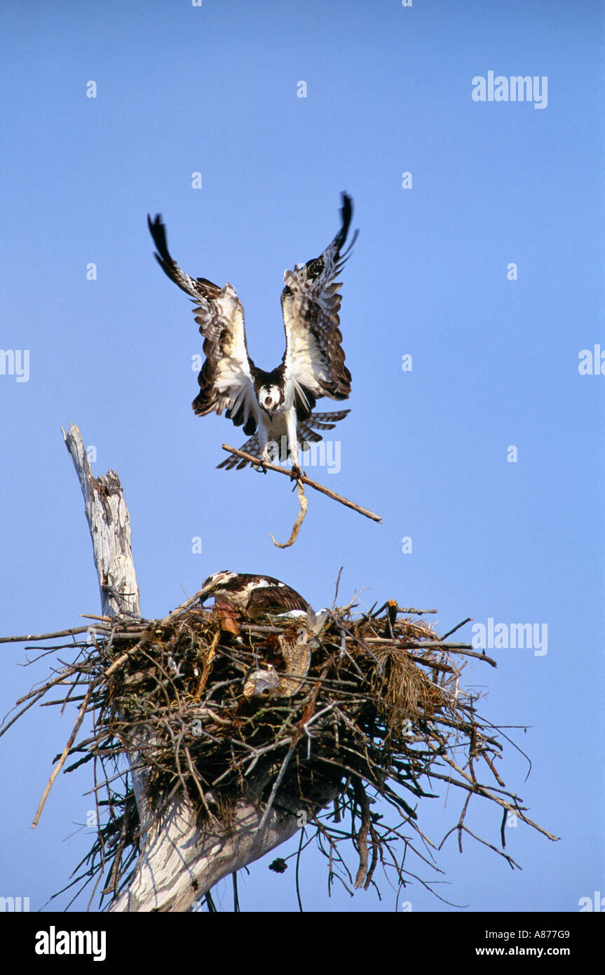 Osprey Pandion haliaetus in flight prepares to land in nest in old snag on Sanibel Island on the Gulf Coast of Florida - Stock Image