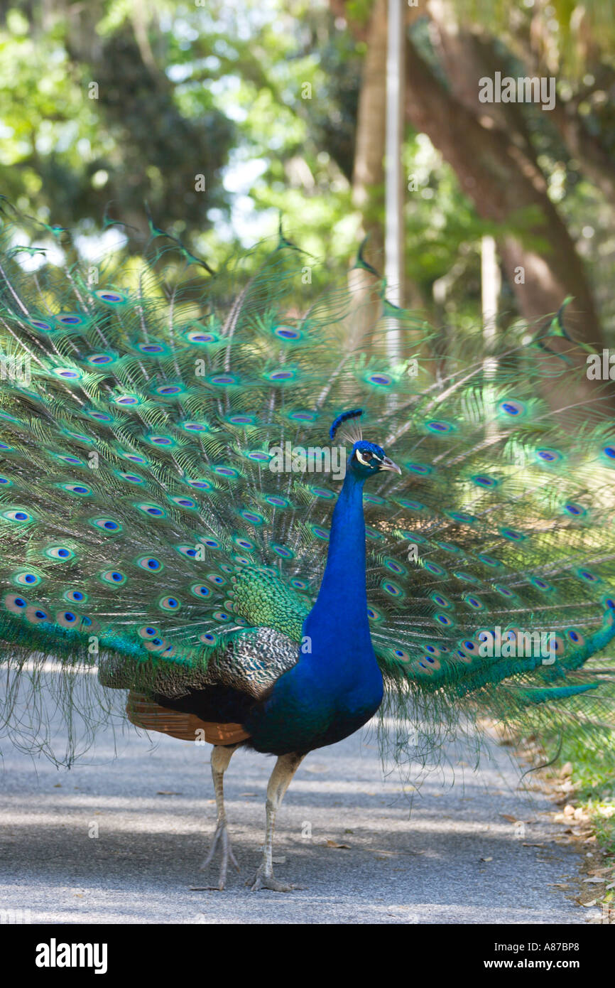 Male India Blue Peacock shows off his colorful tail feathers - Stock Image