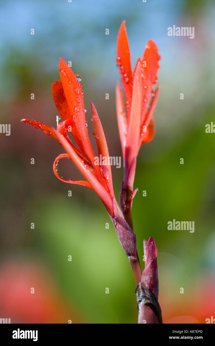 canna indico plant - Stock Image