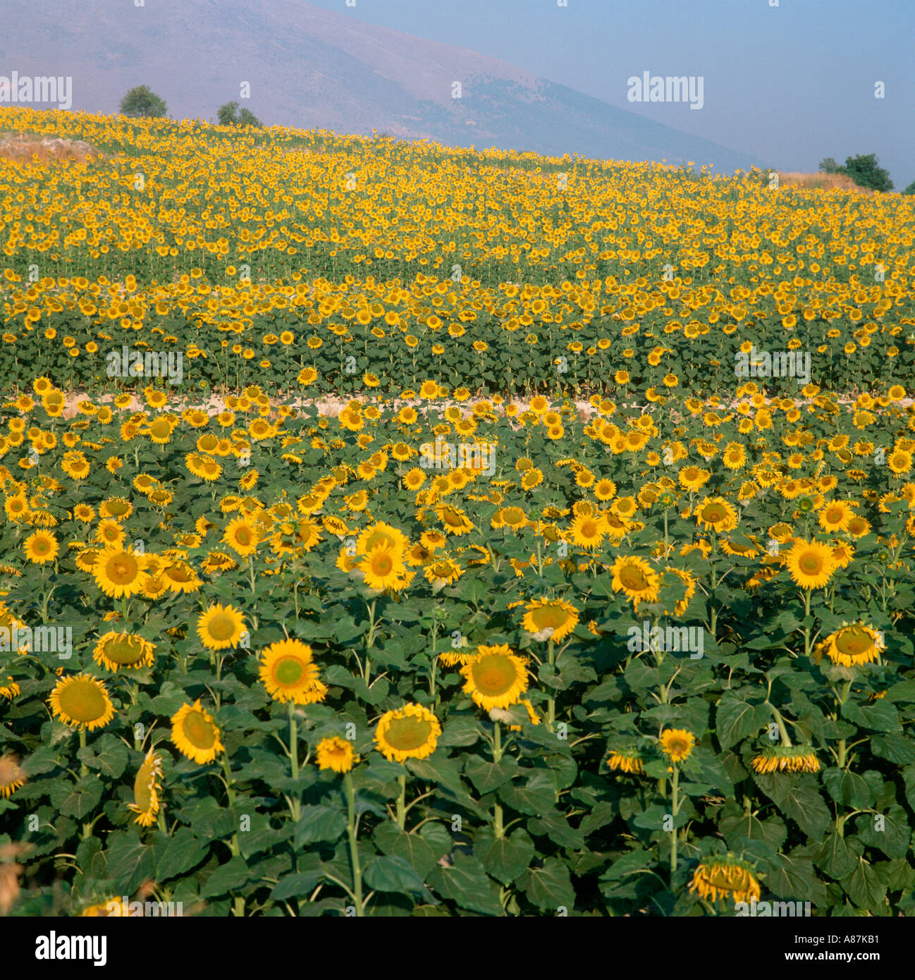 Field of sunflowers (Helianthus annuus), Andalucia, Spain - Stock Image