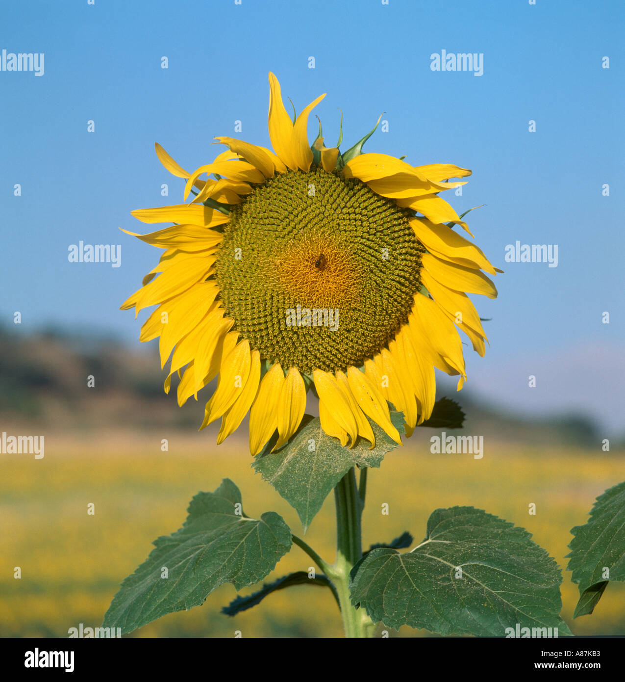 Close up of a sunflower (Helianthus annuus), Andalucia, Spain - Stock Image