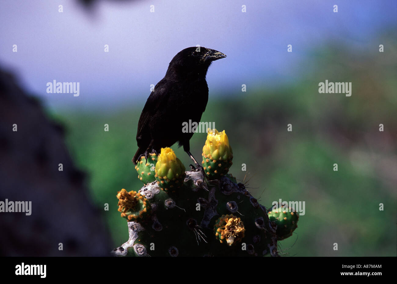 cactus ground finch Geospiza scandens Isabela Galapagos Island Ecuador South Ameriaca - Stock Image