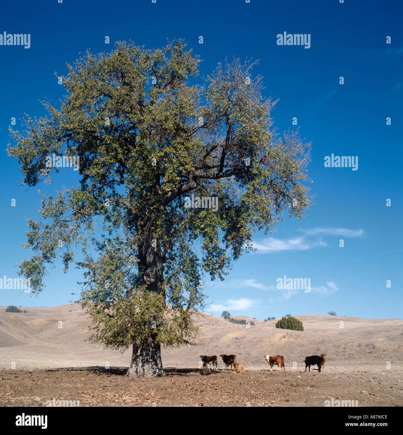 Cattle in the shade of a tree on a ranch in Central California, USA - Stock Image