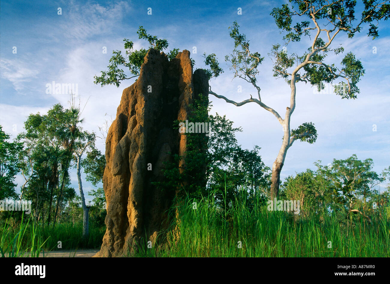 termite mounds Litchfield National Park Northern Territories Tree Australia - Stock Image